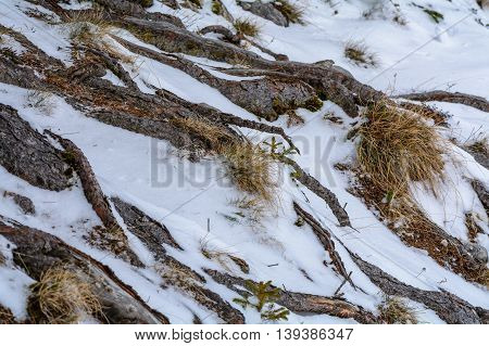 Winter Interesting Scenery. Tree Roots Background And Dry Grass Covered With Snow..