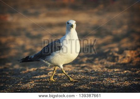 Seagull on the beach. Bird walks in the sand.