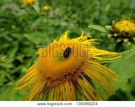 insect on a yellow flower ,  Elecampane ,