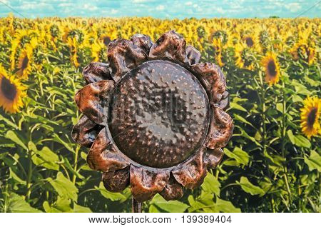 Forged metal sculpture of a single sunflower decorative bronze