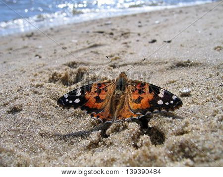 Painted Lady Butterfly sitting on the sand near the water