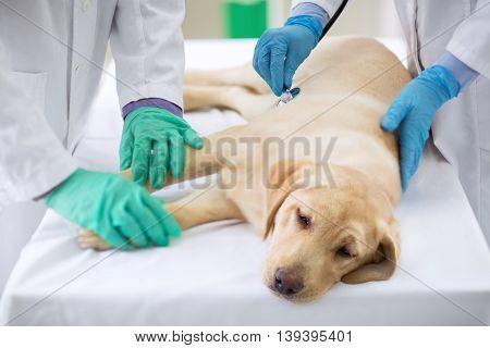 Examining sick dog at vet ambulance, close up