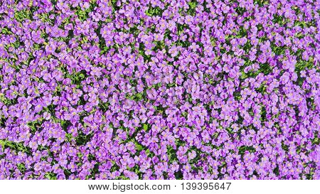 Floral background sunlight glade with a lot of small purple Aubrieta flowers