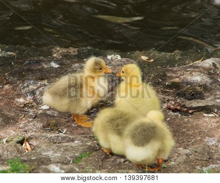 Yellow chicks kissing in watery natural background