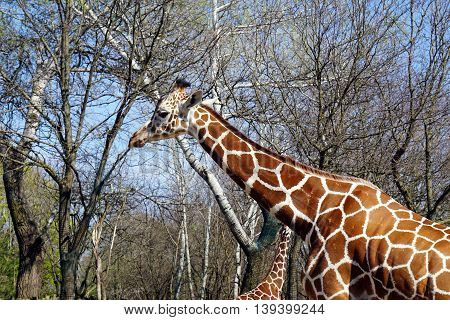 The profile of a reticulated giraffe (Giraffa camelopardalis reticulata) from the African savannah.