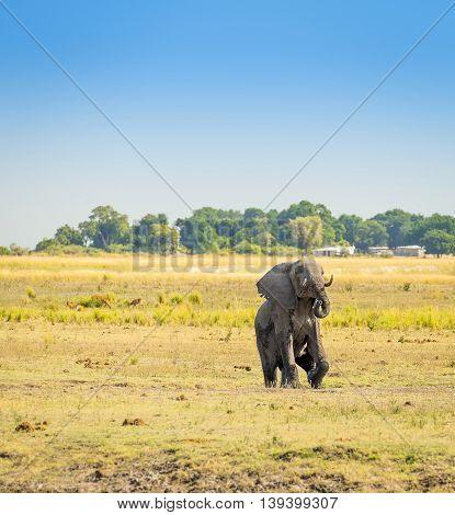 Elephant In Chobe National Park Botswana