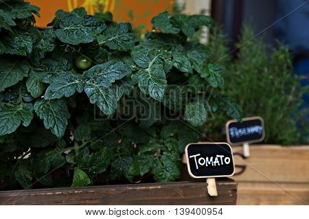Green Tomato plants grow in wood box