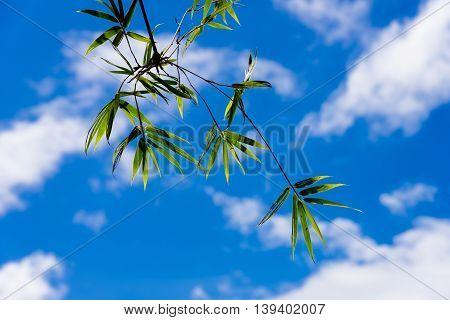 The bamboo leaf under blue sky cloud.
