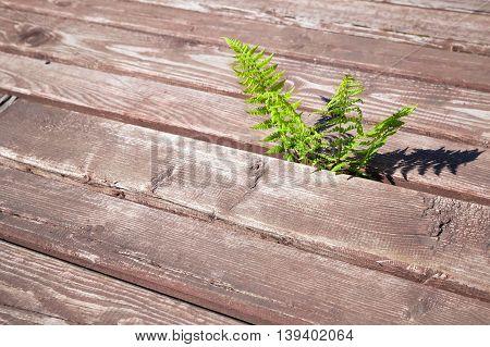 Young Fern Grow Through Rural Wooden Floor