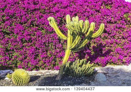 Details of mediterranean landscape: cactuses and bougainvillea flowers