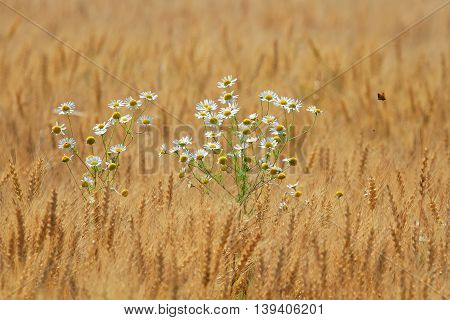 white daisies growing on a Golden field with ripe ears of wheat