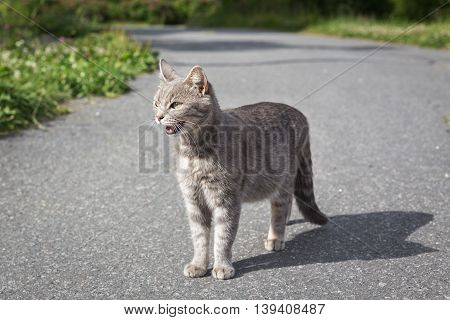 Angry cat in the park on a track in summer