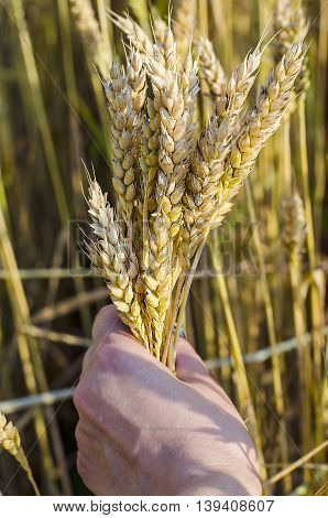 spikelets of wheat ripening in the hands of man