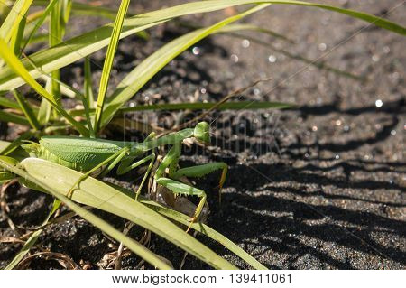 closeup of female praying mantis hiding in grass