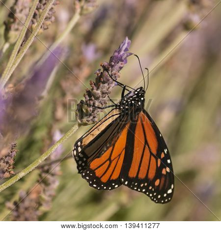 detail of monarch butterfly pollinating lavender flowers