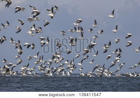 flock of pink pelicans fly over the water