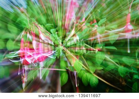 Rose Twirl Abstract. Flowers streaking during a long exposure spin.