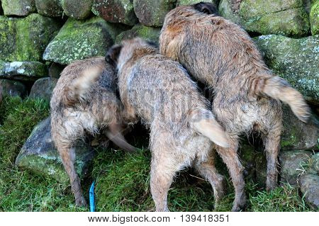 Trio of working red grizzle Border Terrier females, marking the scent of a rabbit in a wall