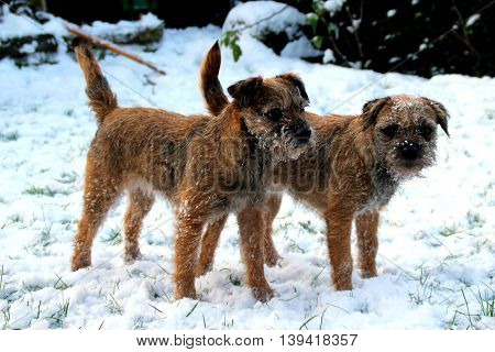 Two Border Terriers, female, stood in the snow, west yorkshire, uk