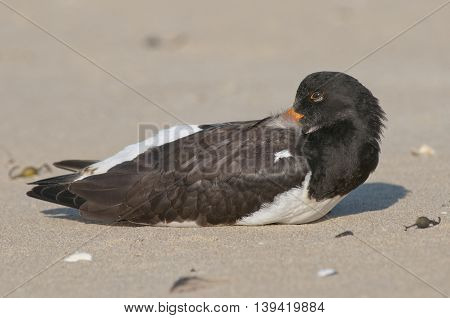 Eurasian Oystercatcher (Haematopus ostralegus) resting on the beach