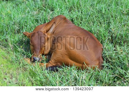 red brown baby calf resting on the meadow in vietnamese countryside