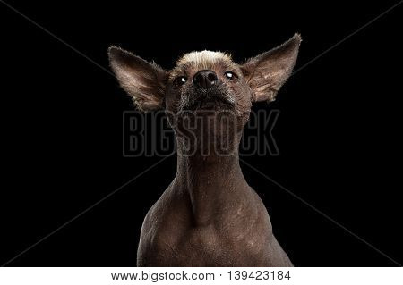 Funny Xoloitzcuintle - hairless mexican dog breed Raising up nose, Studio Close-up portrait on Isolated Black background, Front view, Curious Looks