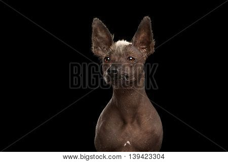 Xoloitzcuintle - hairless mexican dog breed, Studio Close-up portrait on Isolated Black background, Front view, Looks with Alert