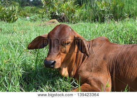 calf resting on the meadow in vietnamese countryside