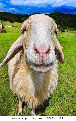 Sheep smile in Thai Farm, Ratchaburi Thailand