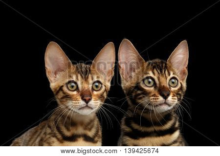 Closeup Portrait of Two Young Bengal Kittens on Isolated Black Background, Front view, Sister and Brother, wild breed with tabby gold fur