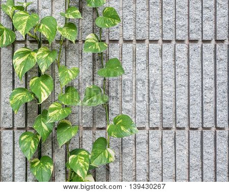 Devil s ivy decorated on granite wall background