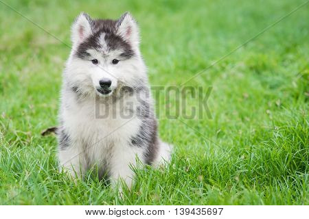 Siberian husky puppy sitting on green grass with copy space on right