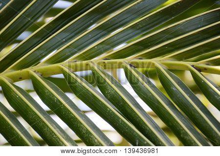 fresh green coconut leaves in nature garden