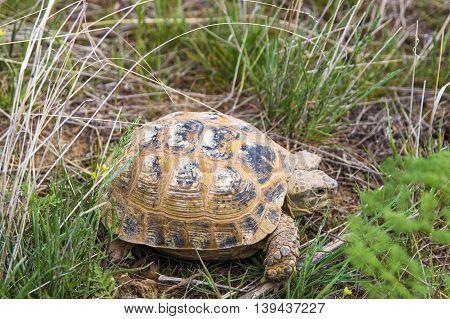 Wild turtle in steppe in Kazakhstan in the spring