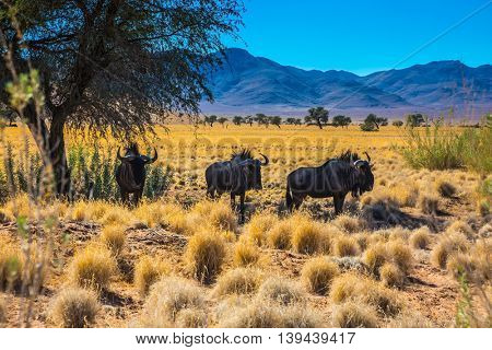 Travel to Namibia, Africa. Small herd of wildebeest near the road