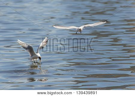 Two hungry seagulls eat the bread in water