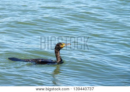 Double crested cormorant swimming on calm water. Once threatened by the use of DDT the numbers of this bird have increased markedly in recent years