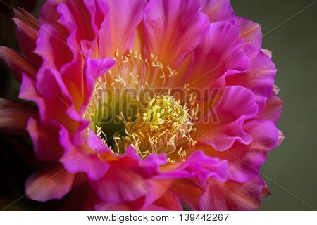 Somewhat of a side view of a night blooming Trichocereus which is a cactus flower. Also called the Flying Saucer this flower is bright pink with yellow stamen.