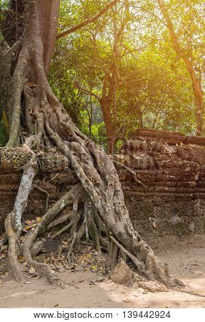 Tree Roots Cover A Historic Khmer Temple In  Angkor Wat, Cambodia