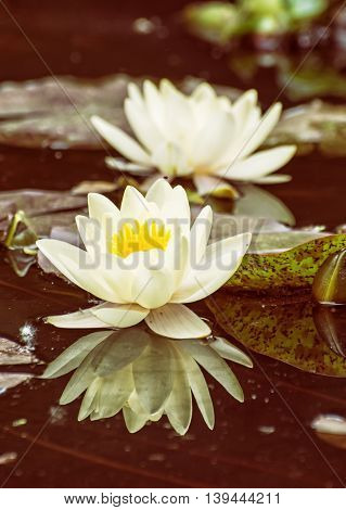 Yellow water lily - Nymphaeaceae - in the garden pond. Aquatic herb. Beautiful photo filter. Seasonal natural background. Beauty in nature. Water lilies.