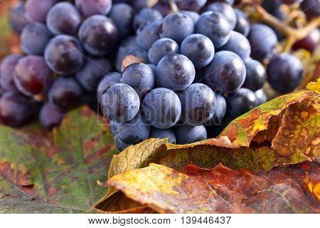 Blue Grapes And  Leaves
