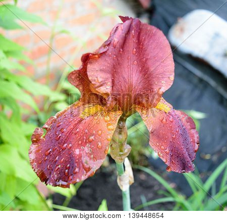 Iris flower with red petals covered with dew or raindrops