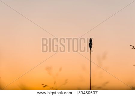 Straw of Grass with Sunset behind it.