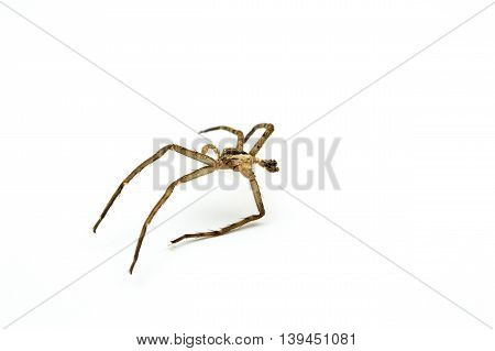 spiders molt close up isolated on white background.