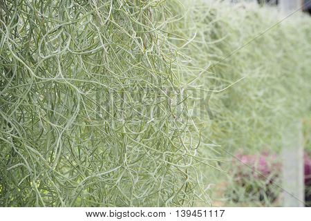 Green Spanish Moss Background with right copy space.