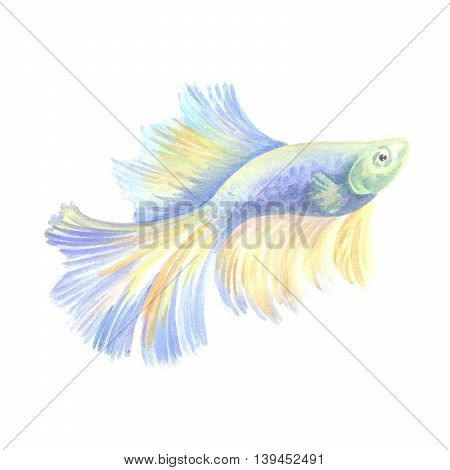 Siamese fighting fish.  Blue aquarian small fish on a white background. Watercolor painting