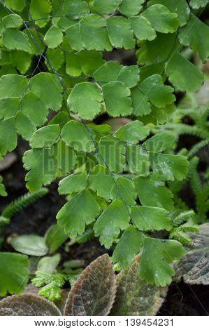 fresh green Caryota mitis leaves in nature garden