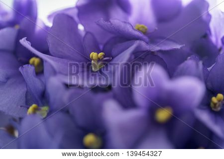 close up photo of beautiful violet viola flower, shallow focus