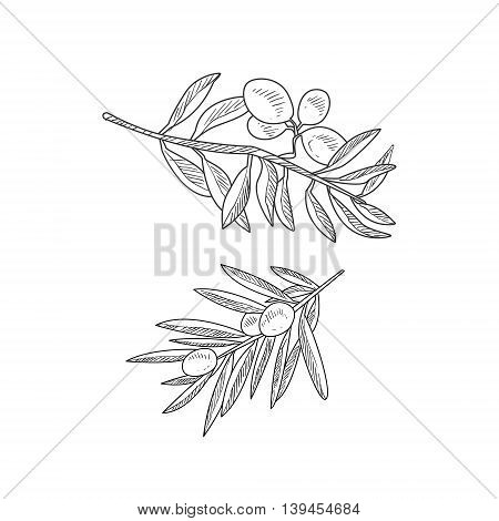 Two Olive Branches Hand Drawn Realistic Detailed Sketch In Classy Simple Pencil Style On White Background