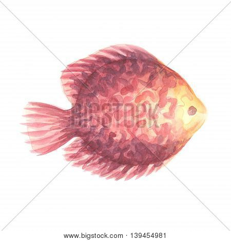 Discus Fish. Exotic decorative fish on a white background. Watercolor painting